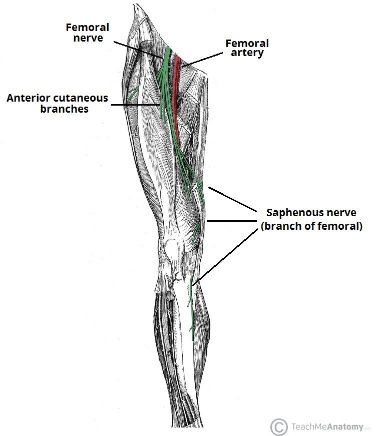 Anatomical-Course-of-the-Femoral-Nerve-Lower-Limb -