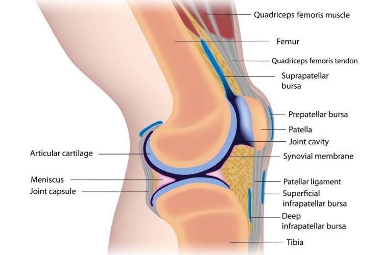 knee ligaments and tissues